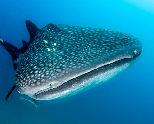 Whaleshark Kenya Sands at Chale Island