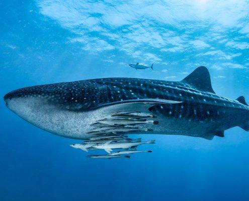 Scuba diving Kenya whale shark