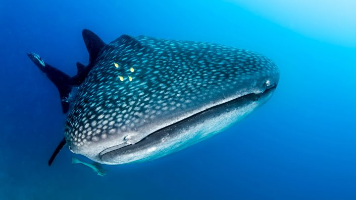 Scuba diving Kenya whale shark