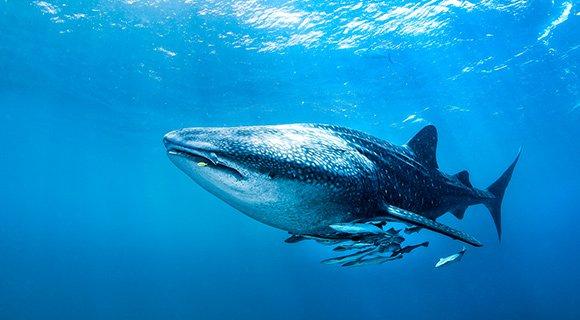 Scuba Diving Kenya Whaleshark