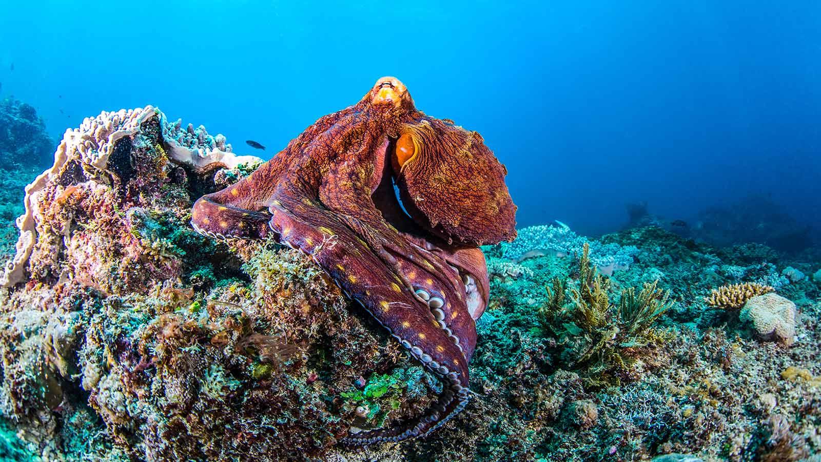 Scuba Diving Kenya Octopus