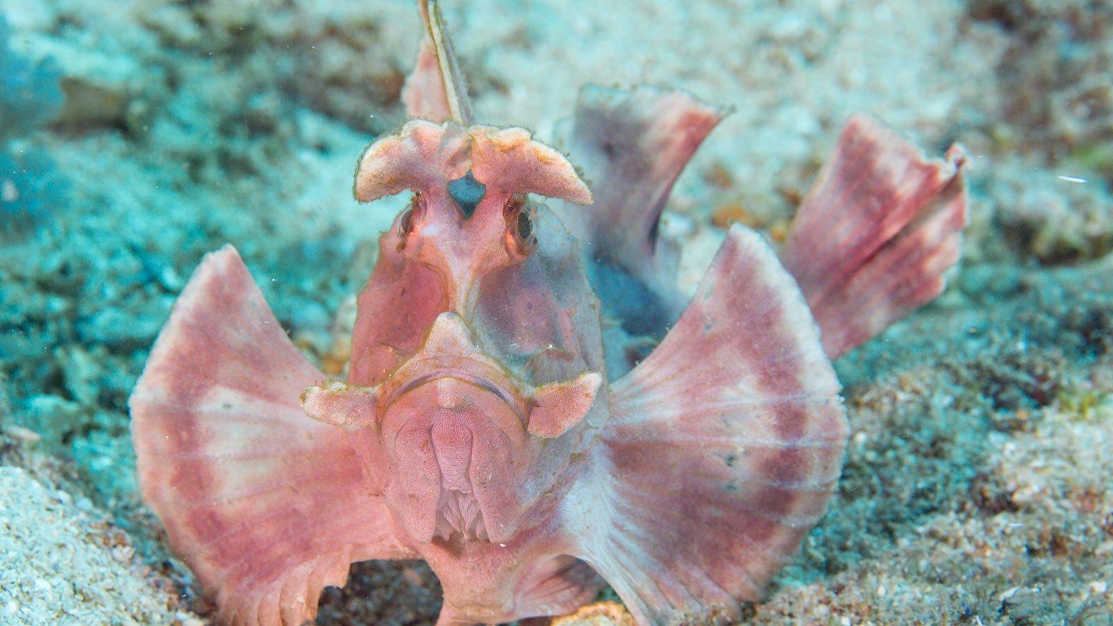 Scuba Diving Kenya Scorpionfish