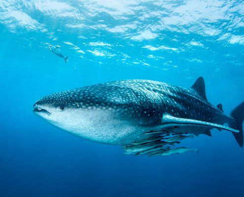 Kenya Top Dive Sites Whale shark