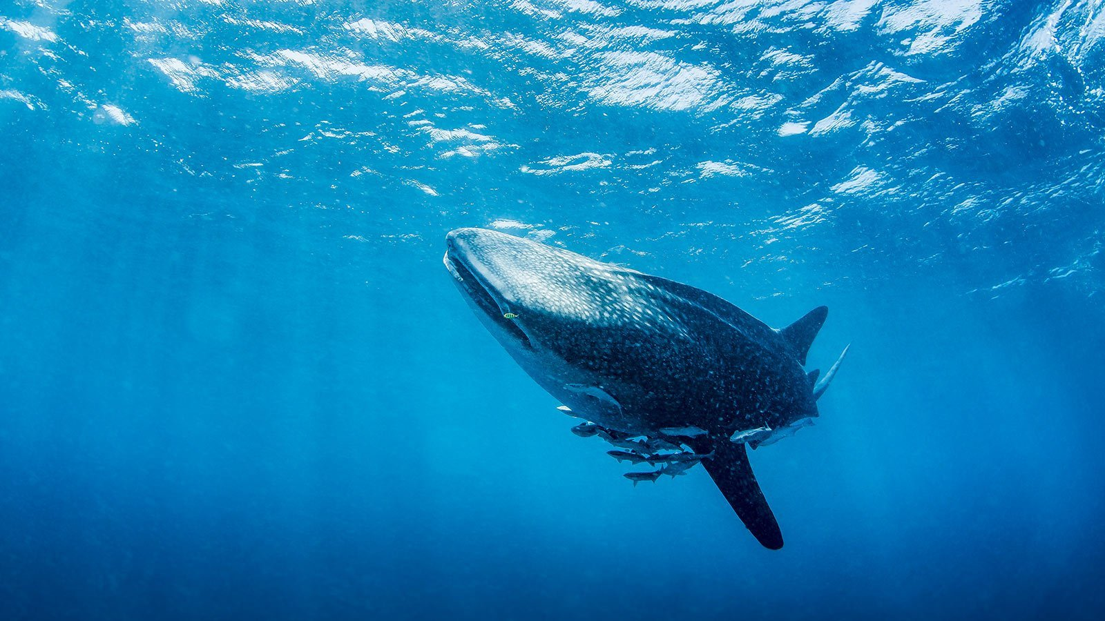 Whale shark Kenya scuba diving
