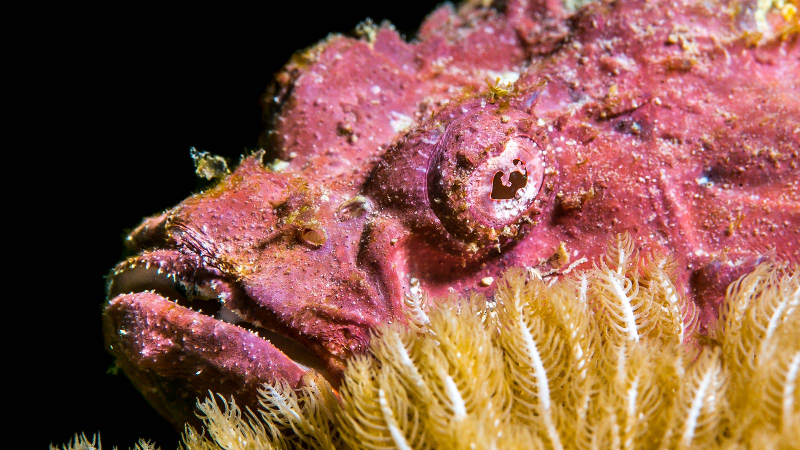 Scorpion Fish Macro Diving Kenya